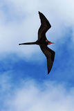 frigatebird壮观的男性辅助操作腾飞 图库摄影