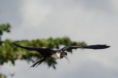 frigatebird θαυμάσιος Στοκ Εικόνες