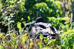 frigatebird пышное Стоковое фото RF