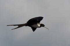 frigatebird пышное Стоковое Изображение RF