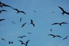 frigatebird Royaltyfri Bild