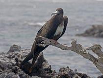 frigatebird 3 пышное Стоковое Фото