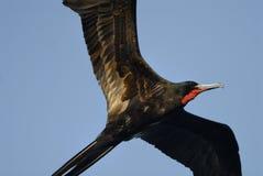 Frigatebird Royaltyfri Foto