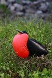 Frigatebird Royalty Free Stock Photo