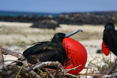 Frigatebird Stock Photography