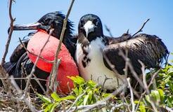 Frigatebird acoplou pares Imagens de Stock