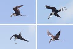 Frigatebird Stock Images