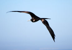 Frigatebird in ascesa Fotografia Stock