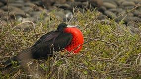 Frigatebird in de Eilanden van de Galapagos Royalty-vrije Stock Foto's