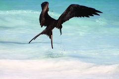 A Frigatebird Feeding Stock Images