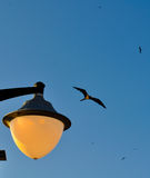 Frigatebird in flight in the Galapagos Islands in Ecuador Stock Photos