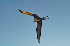 Frigatebird in flight in the Galapagos Islands in Ecuador Stock Image