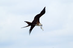 Frigatebird flyg med hennes tillfångatagande Arkivbilder