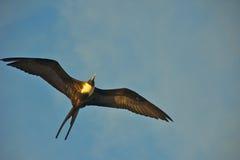Frigatebird Flying Over Galapagos Islands Stock Photography