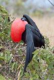 Frigatebird. Frigate bird with inflated red gular pouch Stock Photos