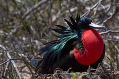 Frigatebird Galapagos ö royaltyfri foto