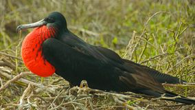 Frigatebird in Galapagos Islands Royalty Free Stock Photos