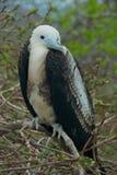 Frigatebird in Galapagos Islands Royalty Free Stock Photos