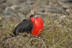 Frigatebird in Galapagos Islands Royalty Free Stock Image