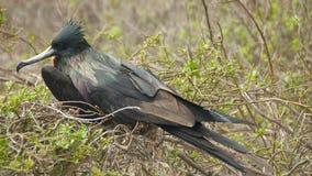 Frigatebird in Galapagos Islands Stock Image