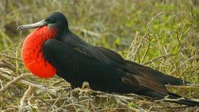 Frigatebird in isole Galapagos Fotografie Stock Libere da Diritti