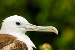 Frigatebird magnífico juvenil foto de archivo