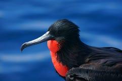 Frigatebird magnífico nos Galápagos Foto de Stock