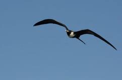 Frigatebird magnifico Fotografia Stock
