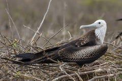 Frigatebird magnifico in isole Galapagos Immagini Stock