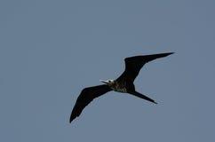 Frigatebird magnifico (magnificens del Fregata) Fotografia Stock