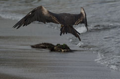 Frigatebird magnifico (magnificens del Fregata) Fotografia Stock Libera da Diritti