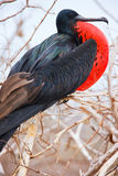 Frigatebird magnifico maschio immagini stock libere da diritti