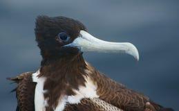 Frigatebird magnifico nel Galapagos Immagine Stock