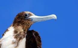 Frigatebird magnifico nel Galapagos Fotografia Stock