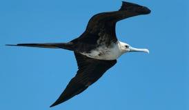 Frigatebird. A male magnificent frigatebird (Fregata magnificens) flies Stock Photos