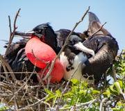 Frigatebird matował parę Obraz Royalty Free