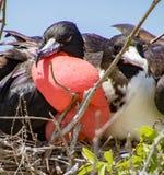 Frigatebird matował parę Obraz Stock