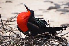 Frigatebird mit aufgeblähtem rotem Beutel stockfotografie