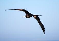 Frigatebird montant photographie stock