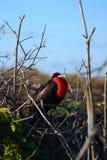 Frigatebird na árvore Foto de Stock