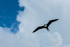 Frigatebird Royalty Free Stock Images