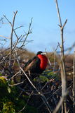 Frigatebird in tree Stock Photo
