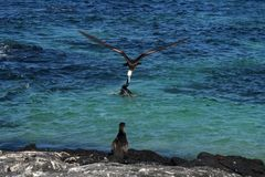 Frigatebird vole la proie du cormoran, Galapagos Photos libres de droits