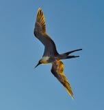 Frigatebird w locie w Galapagos wyspach w Ekwador Obraz Stock
