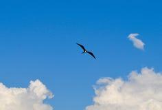 Frigatebird w locie w Galapagos wyspach w Ekwador Obrazy Stock