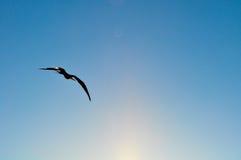 Frigatebird w locie w Galapagos wyspach w Ekwador Fotografia Stock