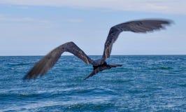Frigatebird w locie w Galapagos wyspach w Ekwador Zdjęcia Royalty Free