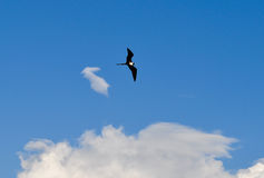 Frigatebird w locie w Galapagos wyspach w Ekwador Zdjęcia Stock