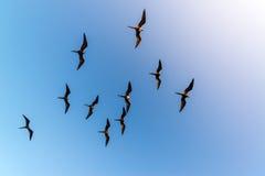 10 Frigatebirds летая Стоковая Фотография