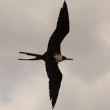 Frigatebirds Royalty-vrije Stock Foto's